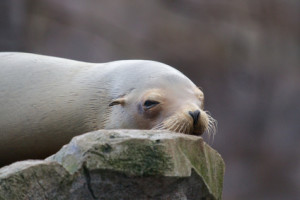 schlafender Seelöwe